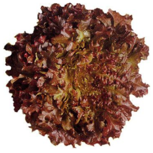 Lettuce Oakleaf Red - each